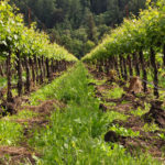 stockvault-vineyard-row122555